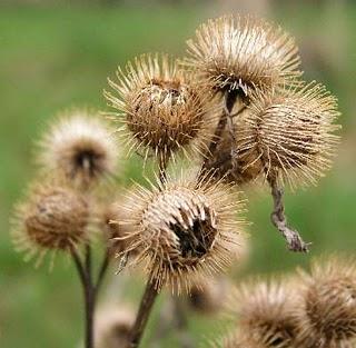 burdock seed